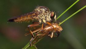Robber fly stock photography