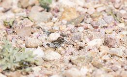Robber Fly on Rocky Ground. Waiting For Prey Royalty Free Stock Image