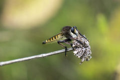 Robber Fly Sitting On A Branch Stock Photo