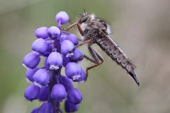 Robber fly. Sitting on a flower Royalty Free Stock Images