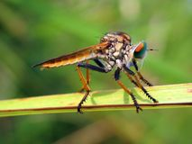 A robber fly sitting on a green weeds stock image