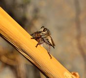 Robber fly with a small bee under its powerful stinger. Robber fly hunting a bee Royalty Free Stock Photos