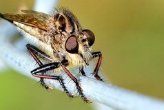 Robber fly stalking on fence. Robber fly perched on fence, waiting for a butterfly to land on the flowers in front of it Stock Photo