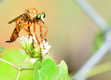 Robber fly stalking. Robber fly perched on leaf with aphids. He is waiting to catch a butterfly Royalty Free Stock Photo