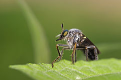 Robber fly Royalty Free Stock Images