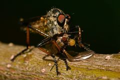 Robber fly Tolmerus atricapillus in close-up. Where it caught a prey .... a fly stock image