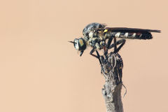 Robber fly. The robber fly on top of tree branch Royalty Free Stock Photos