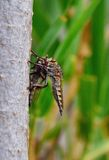 Robber fly trapping other robber fly Stock Photography
