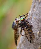 Robber fly trapping other robber fly Stock Photo