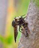 Robber fly trapping other robber fly Royalty Free Stock Photo