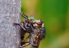 Robber fly trapping other robber fly Royalty Free Stock Photography