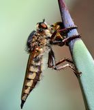Robber fly trapping a small bee Stock Images