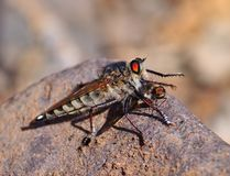 Robber fly trapping a small insect Stock Photos
