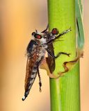 Robber fly trapping a small insect Stock Photo