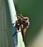 Robber fly trapping a small wasp Stock Image