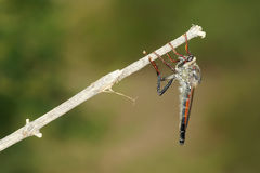 Robber fly. The robber fly is on tree branch Royalty Free Stock Photo