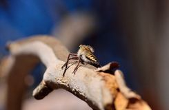 Robber fly on tree branch Stock Photography