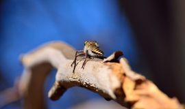 Robber fly on tree branch Royalty Free Stock Photography