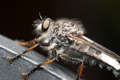 Robber Fly Up Close Royalty Free Stock Photos