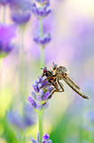 Robber fly with victim Royalty Free Stock Images