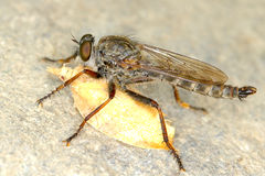 Robber fly whit his prey Royalty Free Stock Photos