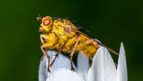 Robber Fly on white wild flower stock images