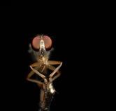robberfly与祈祷,集中于眼睛 免版税库存照片