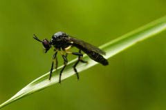 Robberfly à pieds rouges rare Photo libre de droits