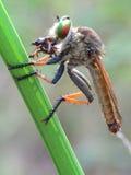 Robberfly åt Arkivbild