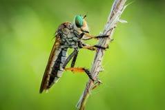 Robberfly Imagens de Stock Royalty Free