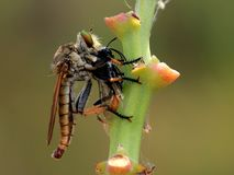 Robberfly στοκ φωτογραφίες με δικαίωμα ελεύθερης χρήσης