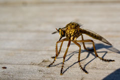 Robberfly Royalty Free Stock Images