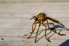 robberfly Royaltyfria Bilder
