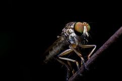 Robberfly Stock Photography