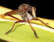 Robberfly Photographie stock