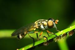 Robberfly Fotografia Stock