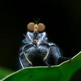 Robberfly Стоковая Фотография