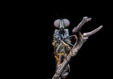 Robberfly стоковые фотографии rf