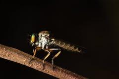 Robberfly Στοκ Εικόνες