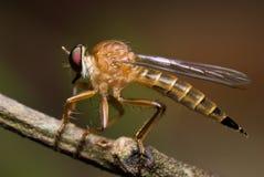Robberfly Royalty-vrije Stock Foto's