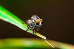 Robberfly Imagens de Stock