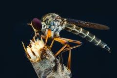 Robberfly Royalty-vrije Stock Afbeelding