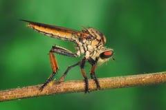 Robberfly anaranjado/el Asilidae se encarama en la ramita seca con el fondo verde fotografía de archivo