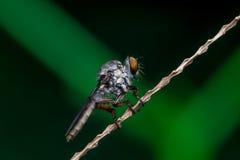 Robberfly, Asilidae lizenzfreie stockbilder