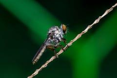 Robberfly, Asilidae Стоковые Фотографии RF
