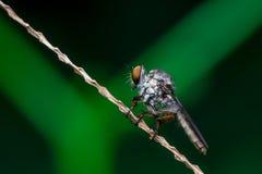 Robberfly, Asilidae Στοκ εικόνες με δικαίωμα ελεύθερης χρήσης