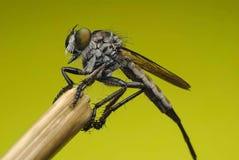 Robberfly (asilidae) Hunterfrom Tailandia un fronte diritto immagini stock