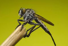 Robberfly(Asilidae)Hunterfrom Thailand a straight face Stock Images