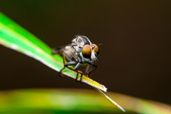 Robberfly stock images