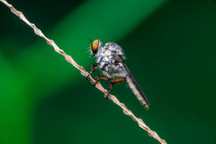 Robberfly, Asilidae. Insecta: Diptera: Asilidae resting on a twig diagonally Stock Images
